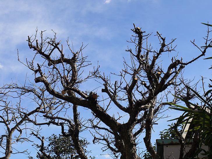 梅の木を強剪定した。2017年-5.jpg
