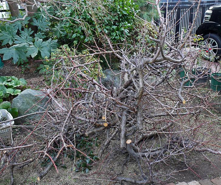 梅の木を強剪定した。2017年-8.jpg