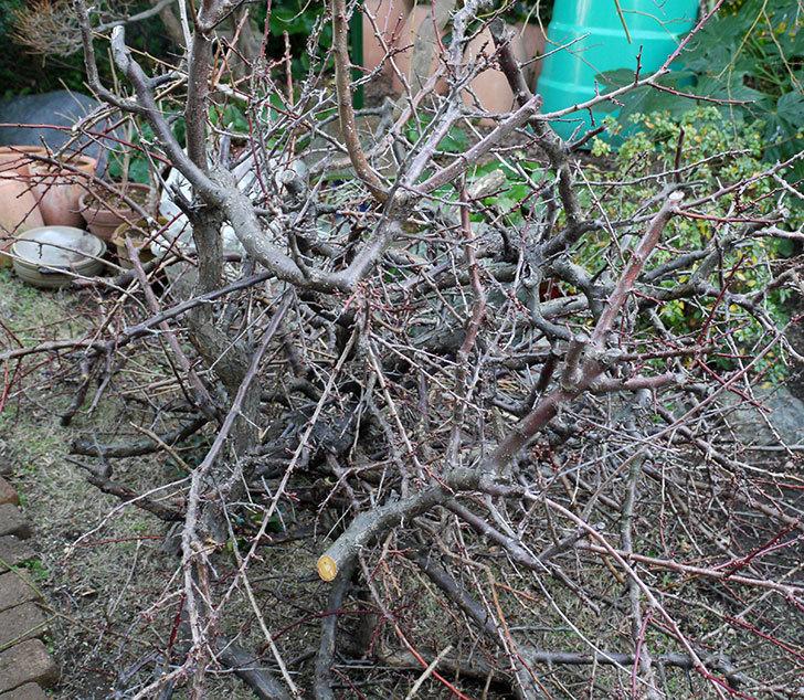 梅の木を強剪定した。2017年-9.jpg