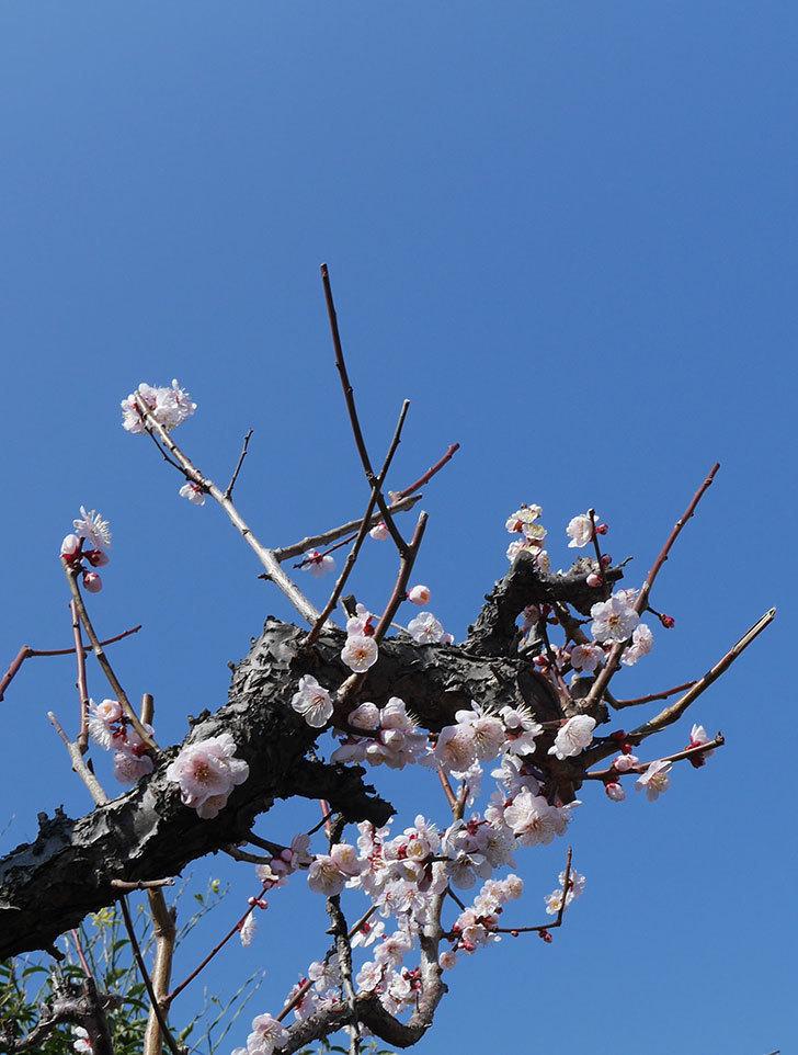 梅の花がたくさん咲いた。2019年-5.jpg
