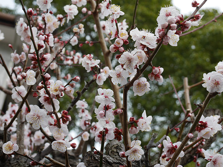 梅の花がたくさん咲いた。2020年-1.jpg