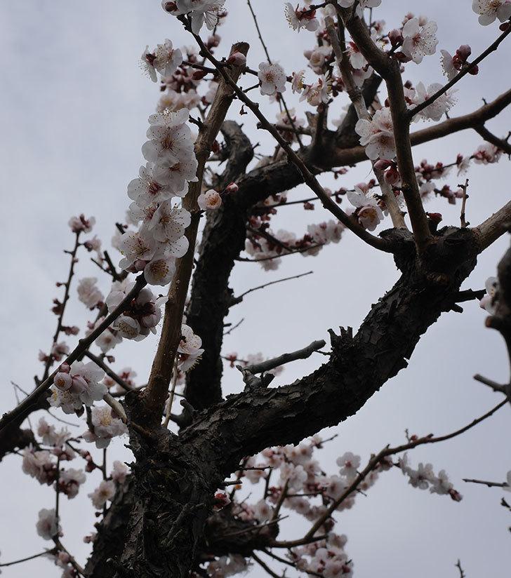 梅の花がたくさん咲いた。2020年-10.jpg
