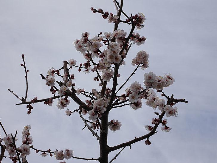 梅の花がたくさん咲いた。2020年-11.jpg