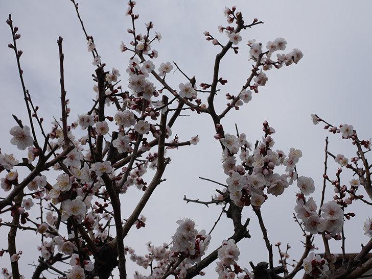 梅の花がたくさん咲いた。2020年-12.jpg