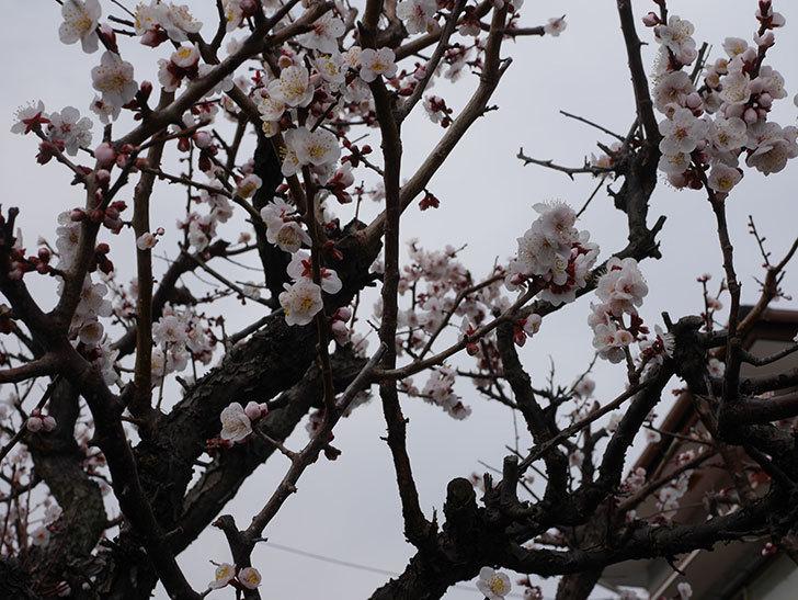 梅の花がたくさん咲いた。2020年-13.jpg