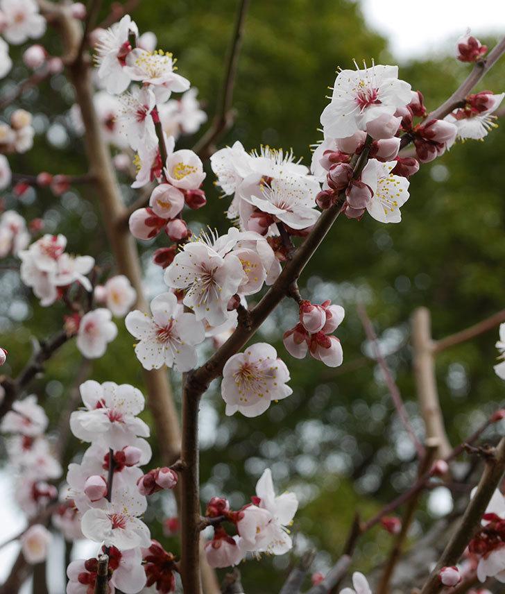 梅の花がたくさん咲いた。2020年-2.jpg
