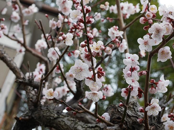 梅の花がたくさん咲いた。2020年-3.jpg