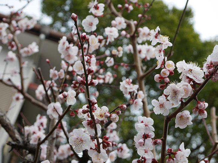 梅の花がたくさん咲いた。2020年-4.jpg