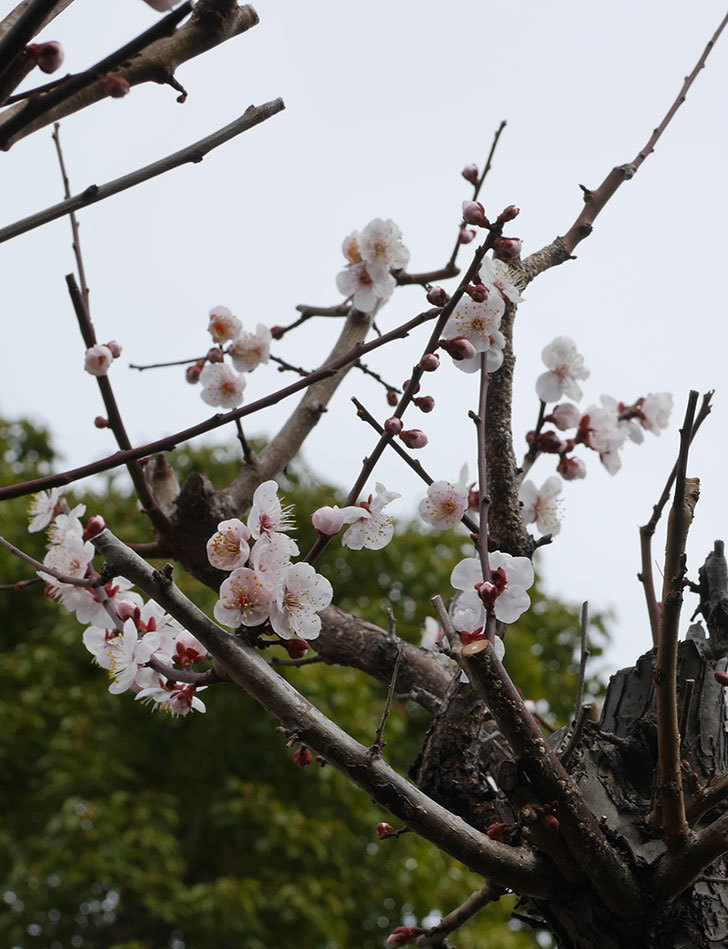 梅の花がたくさん咲いた。2020年-5.jpg