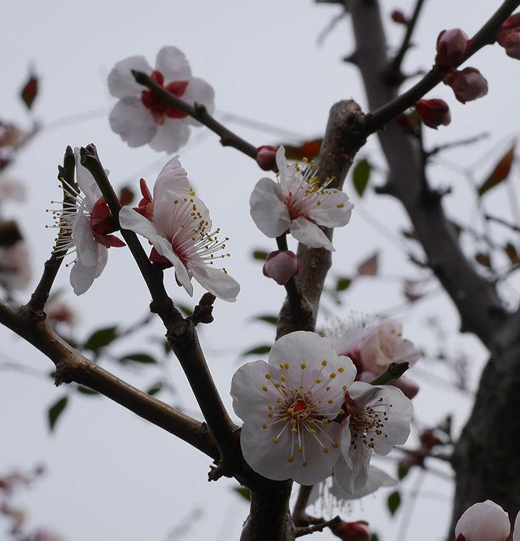 梅の花がたくさん咲いた。2020年-6.jpg