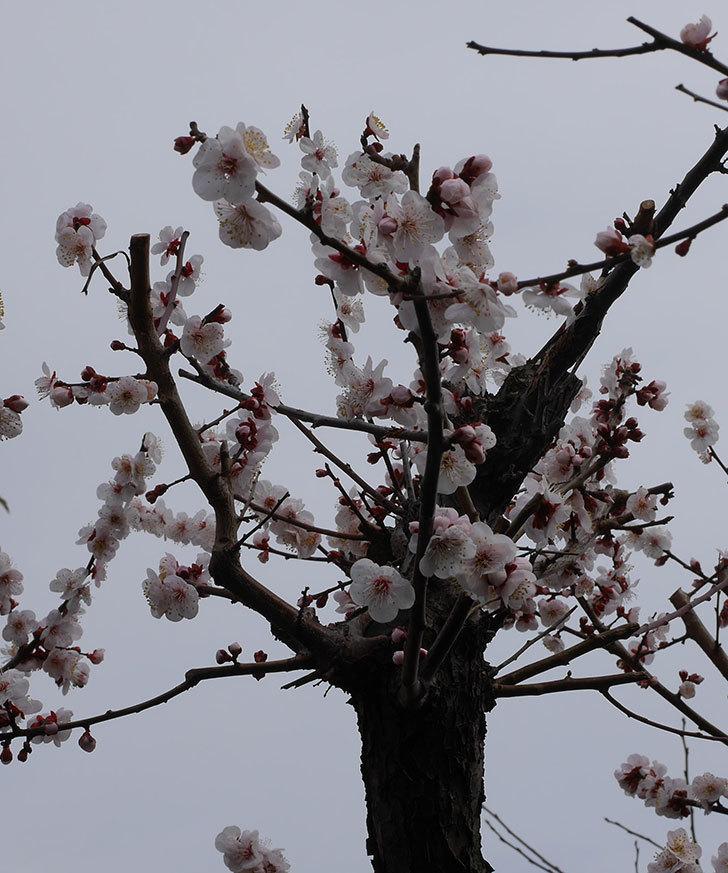 梅の花がたくさん咲いた。2020年-8.jpg