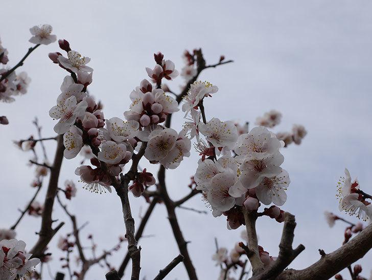 梅の花がたくさん咲いた。2020年-9.jpg