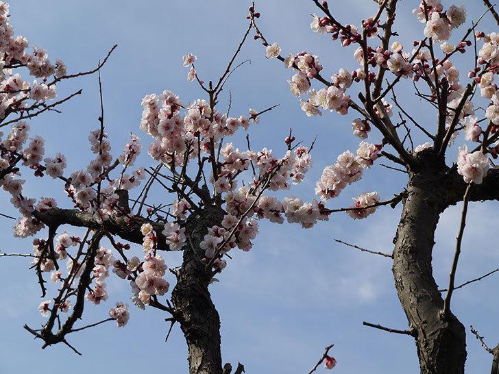 梅の花が咲いた1.jpg