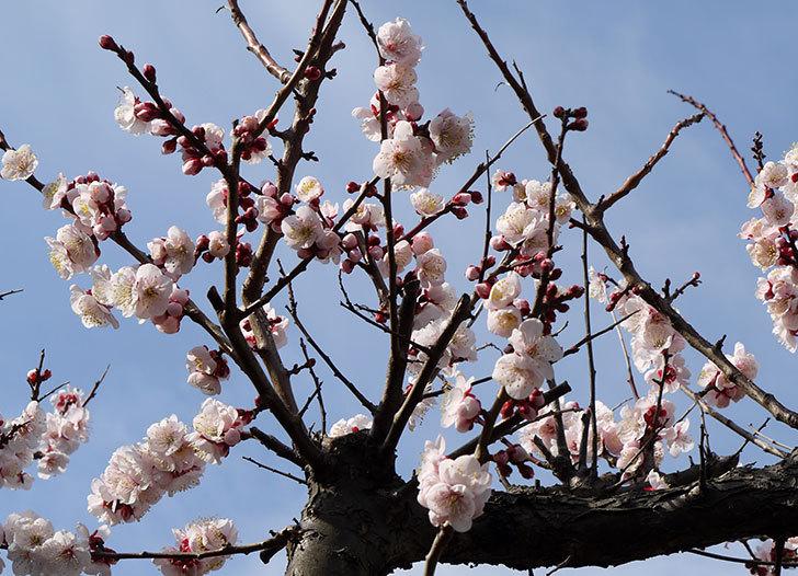 梅の花が咲いた2.jpg