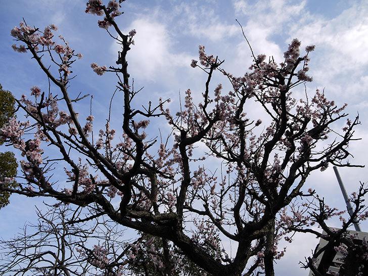 梅の花が咲いた3.jpg