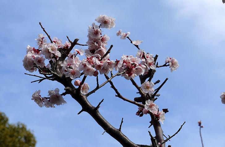 梅の花が咲いた4.jpg