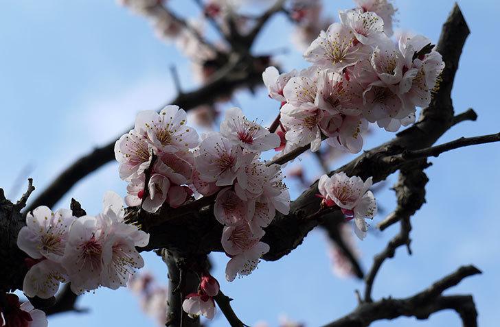 梅の花が咲いた5.jpg