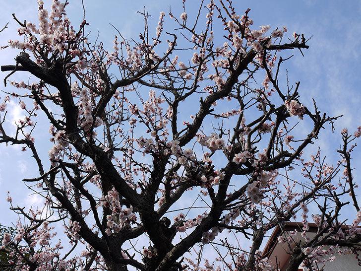 梅の花が咲いた6.jpg