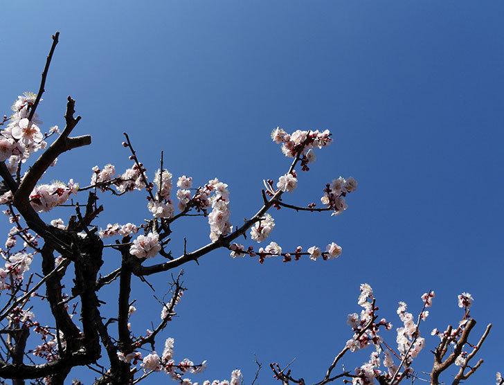 梅の花が咲いた。2018年-1.jpg