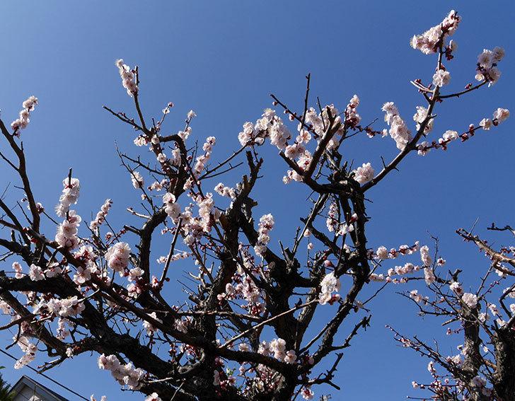 梅の花が咲いた。2018年-4.jpg