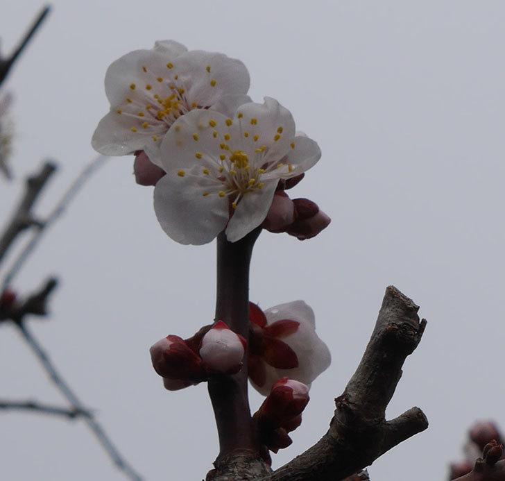 梅の花が咲きだした。2019年-3.jpg