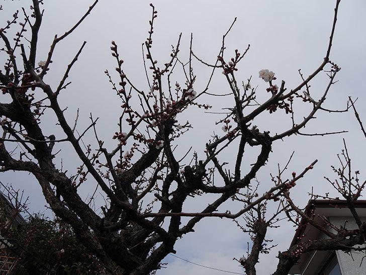 梅の花が咲きだした。2019年-4.jpg