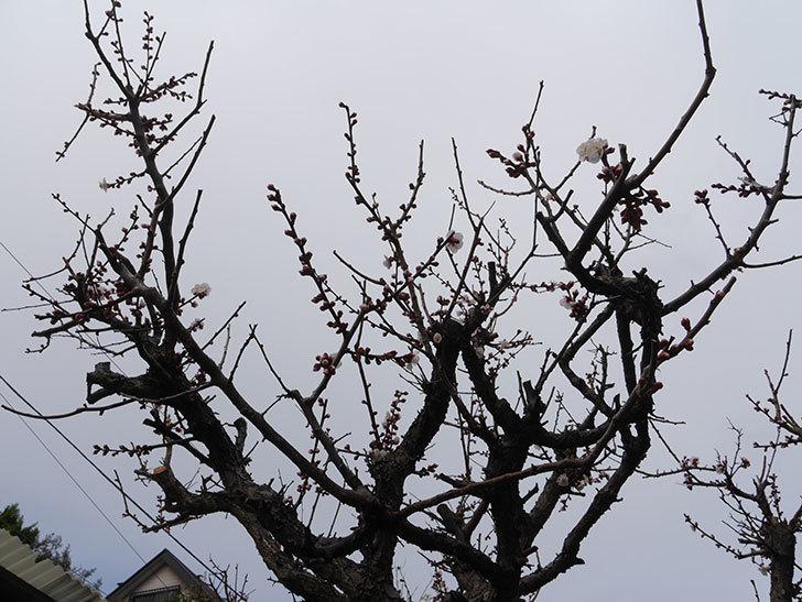 梅の花が咲きだした。2019年-5.jpg