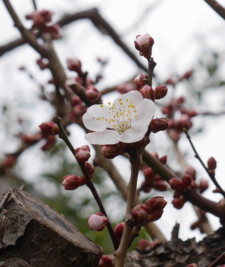 梅の花が咲きだした。2020年-1.jpg