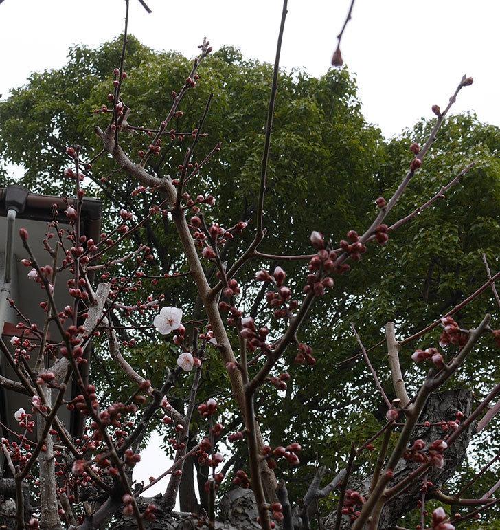 梅の花が咲きだした。2020年-2.jpg