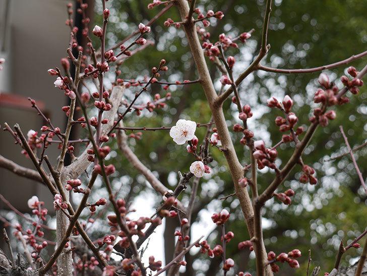 梅の花が咲きだした。2020年-3.jpg