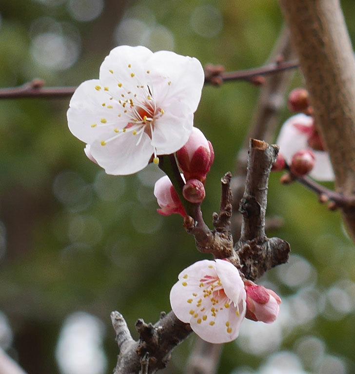 梅の花が咲きだした。2020年-4.jpg