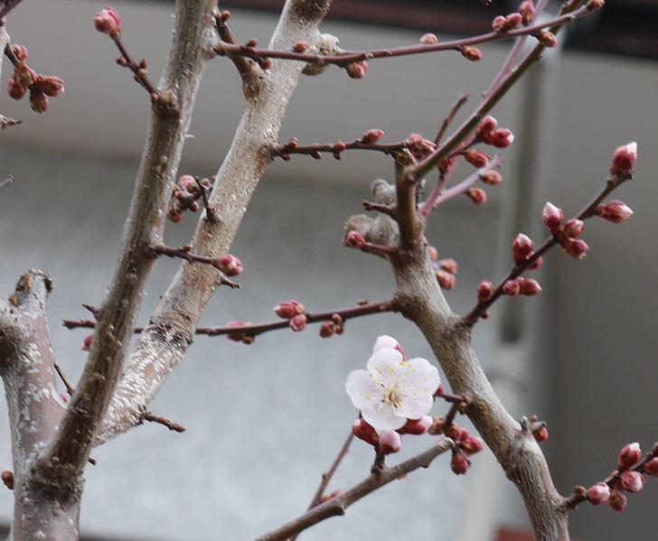 梅の花が咲きだした。2020年-5.jpg