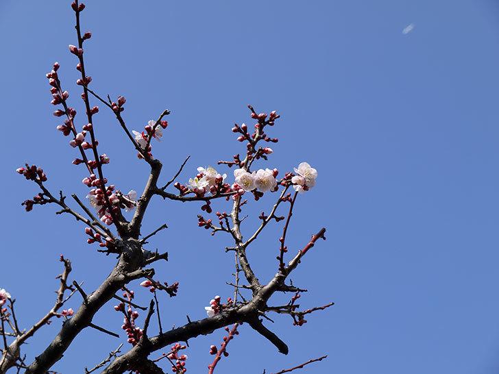 梅の花が咲きはじめた。2015年1.jpg