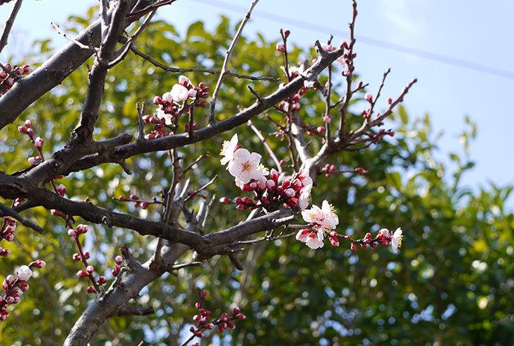 梅の花が咲きはじめた。2015年2.jpg