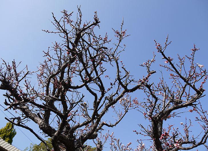 梅の花が咲きはじめた。2015年3.jpg