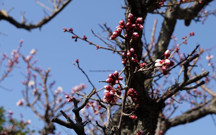 梅の花が咲きはじめた。2015年4.jpg