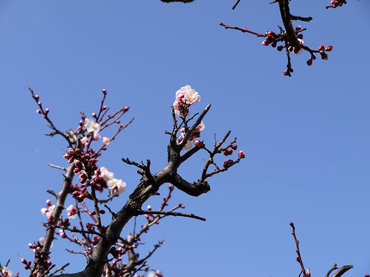 梅の花が咲きはじめた。2015年5.jpg