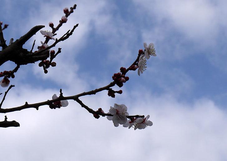 梅の花が咲きはじめた。2016年-1.jpg