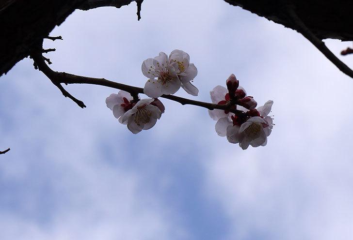 梅の花が咲きはじめた。2016年-2.jpg