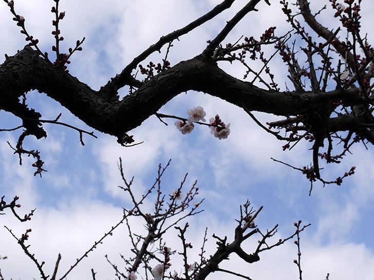 梅の花が咲きはじめた。2016年-3.jpg
