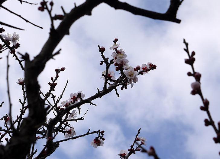 梅の花が咲きはじめた。2016年-5.jpg