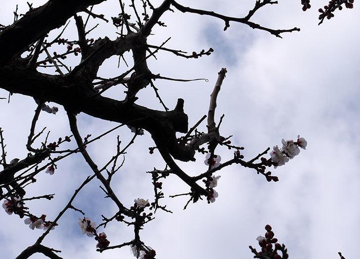 梅の花が咲きはじめた。2016年-6.jpg