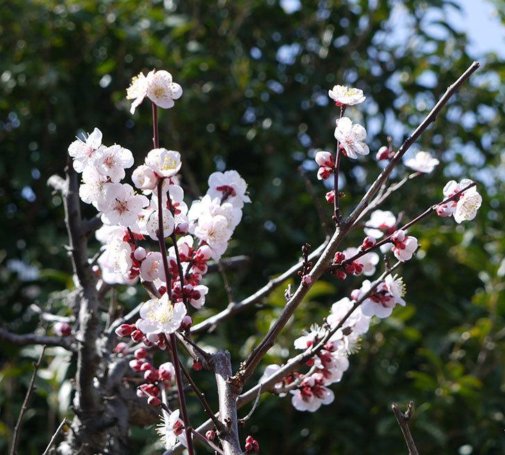 梅の花が増えてきた。2017年-10.jpg