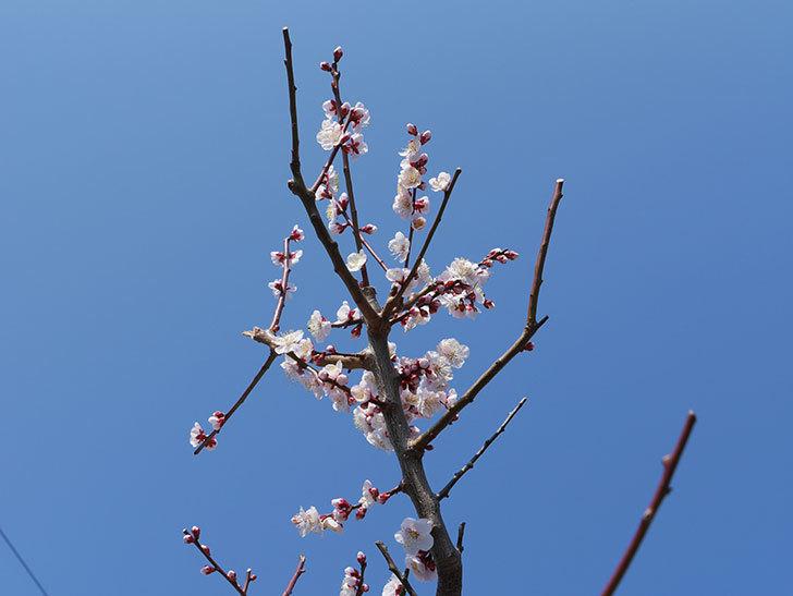 梅の花が増えて来た。2019年-1.jpg