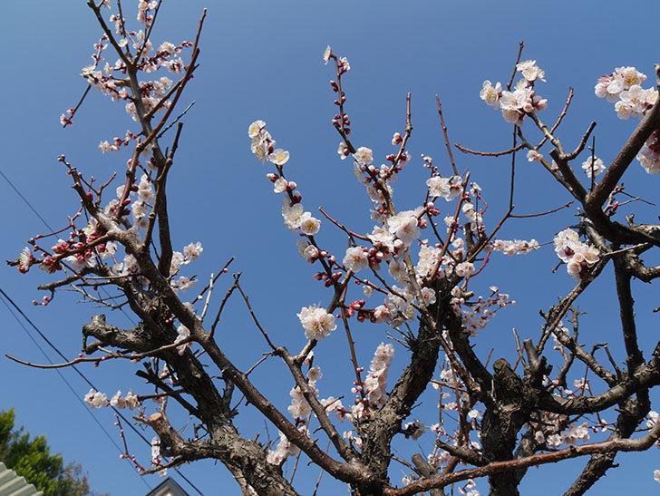 梅の花が増えて来た。2019年-2.jpg