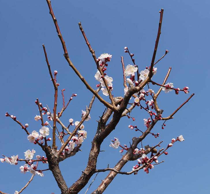 梅の花が増えて来た。2019年-3.jpg