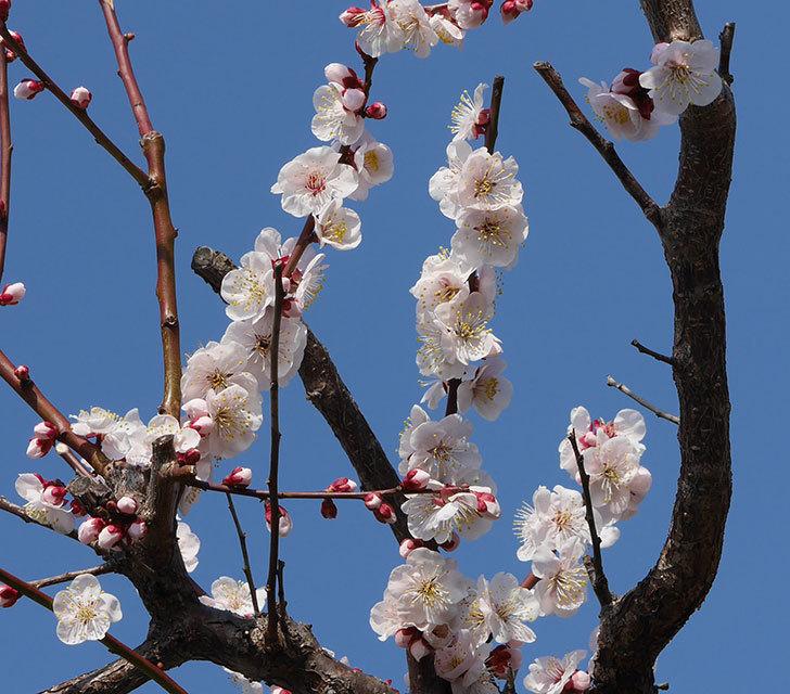梅の花が増えて来た。2019年-4.jpg