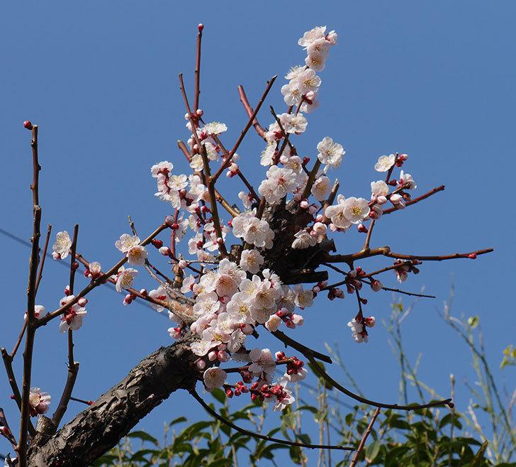 梅の花が増えて来た。2019年-5.jpg