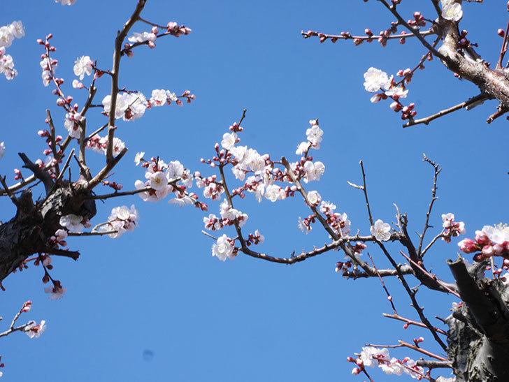 梅の花が増えて来た。2020年-1.jpg