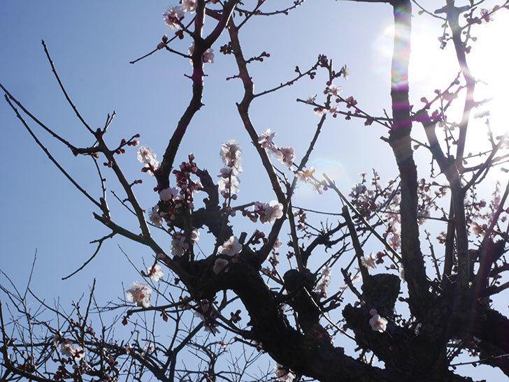 梅の花が増えて来た。2020年-2.jpg